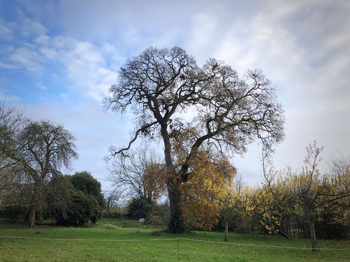 The ancient Oak tree in the East Orchard at Hestercombe - National Tree Week