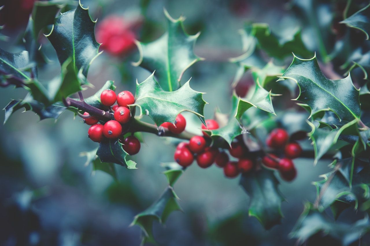 Holly-berries