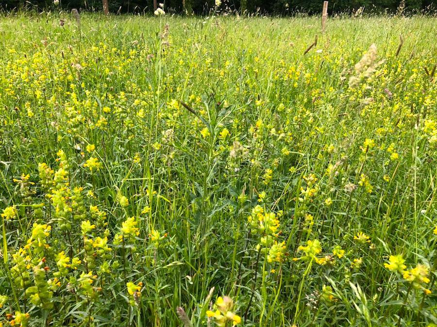 Ragwort and yellow rattle in the wildflower meadow at Hestercombe