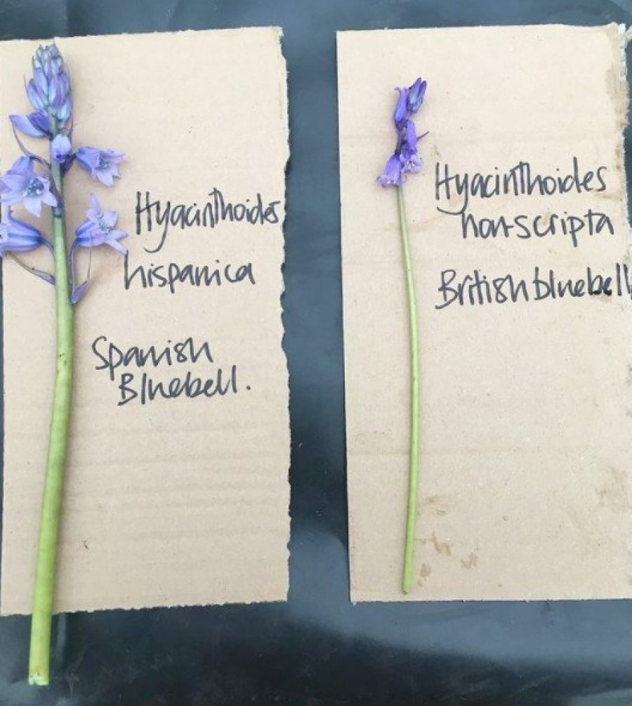 Spanish and English bluebells - differences